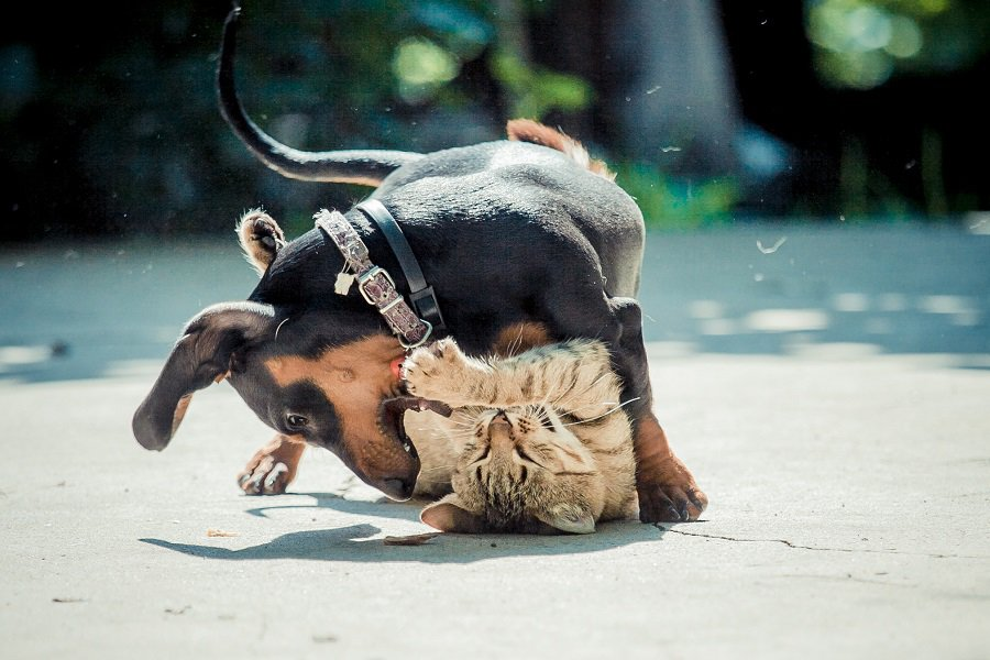 dachshund and cat playing