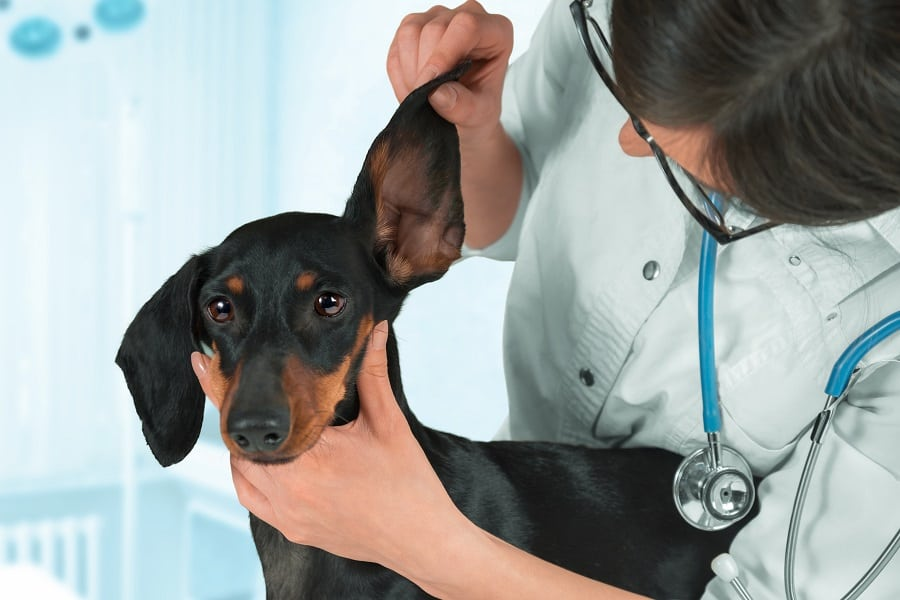 diagnosis of dachshunds allergy