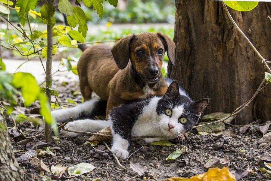 Dachshund and Cat