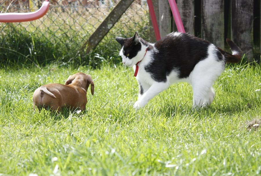 Dachshund dog in standoff with a cat