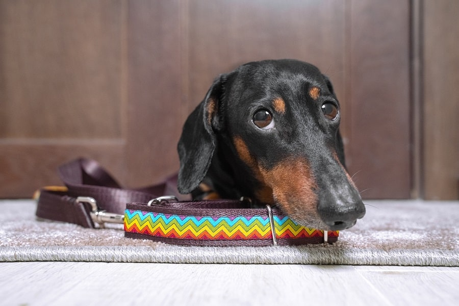 black and tan dachshund with bright colorful collar