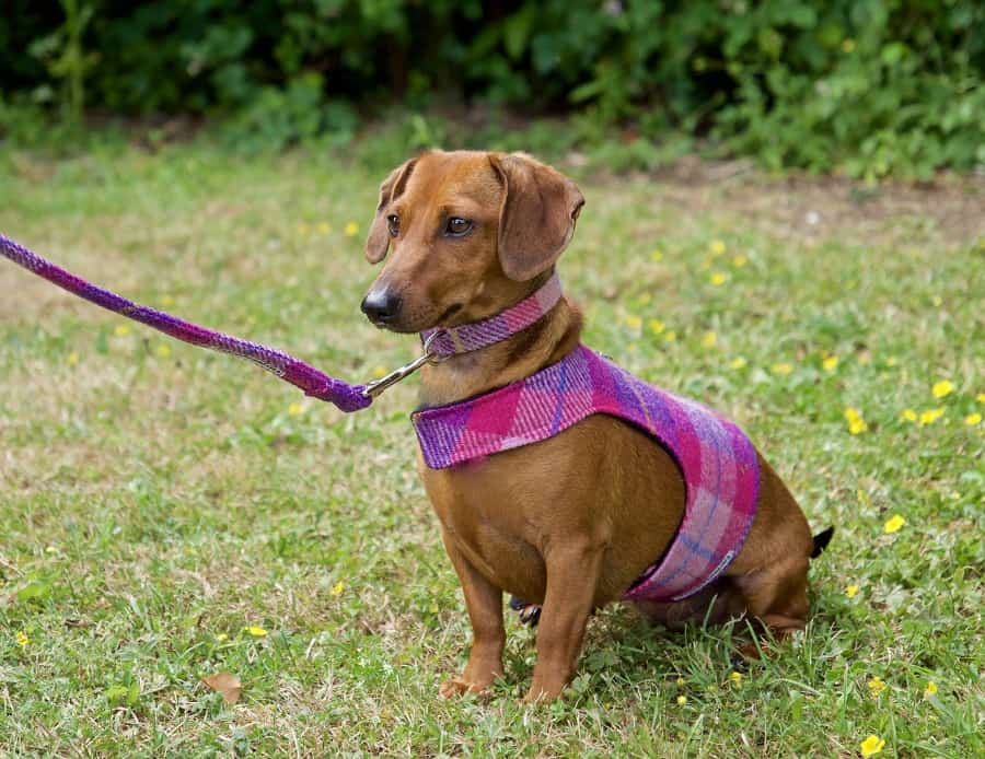 Dachshund dog sitting on grass in a harness