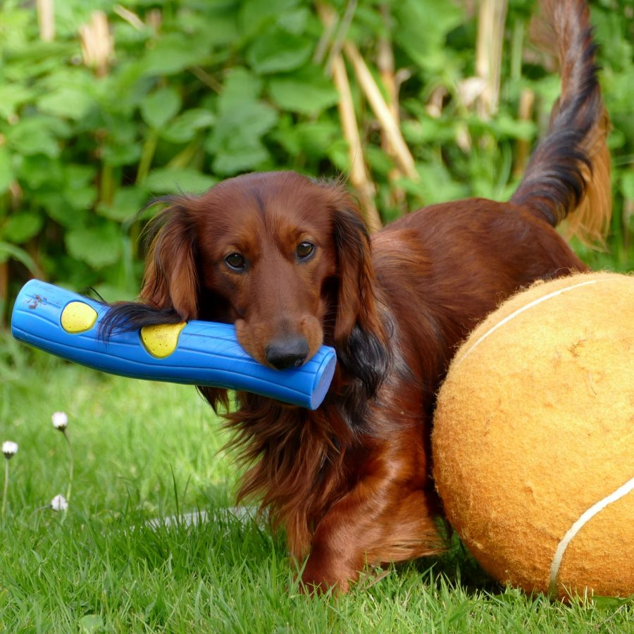 dachshund playing