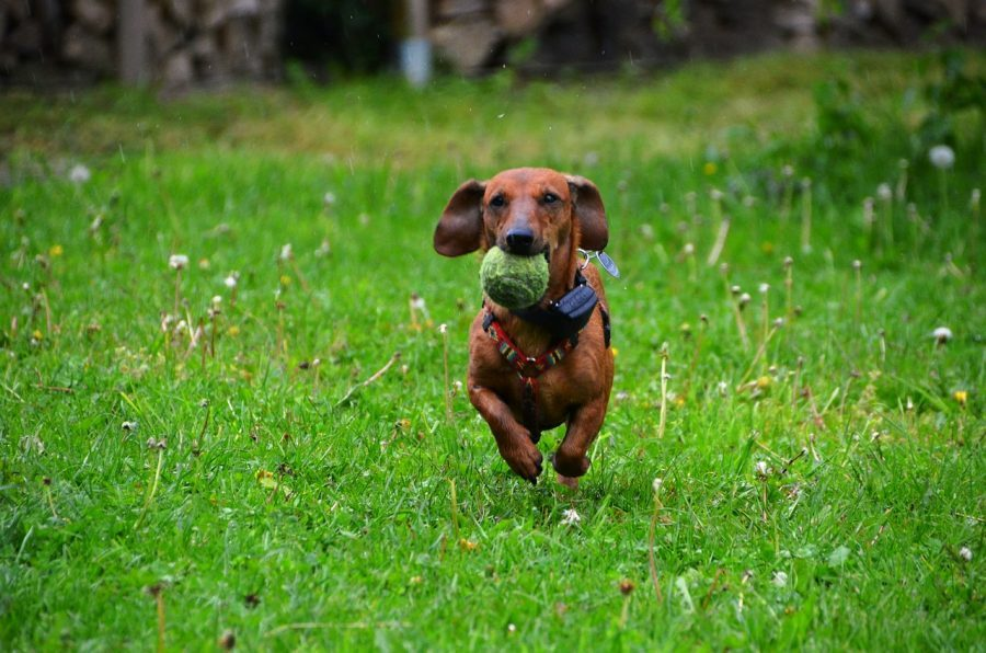 Dachshund running with ball