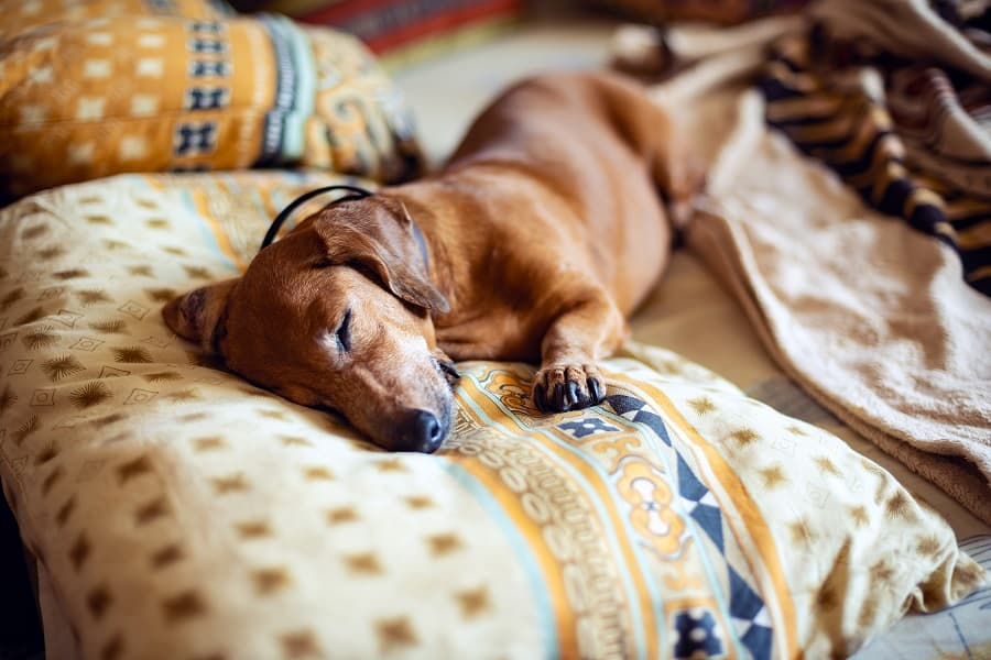 dachshund sleeping comfortably on the couch