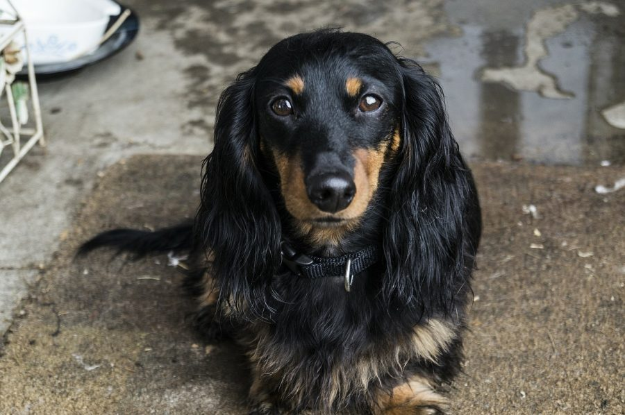 Long Haired Dachshund looking straight ahead