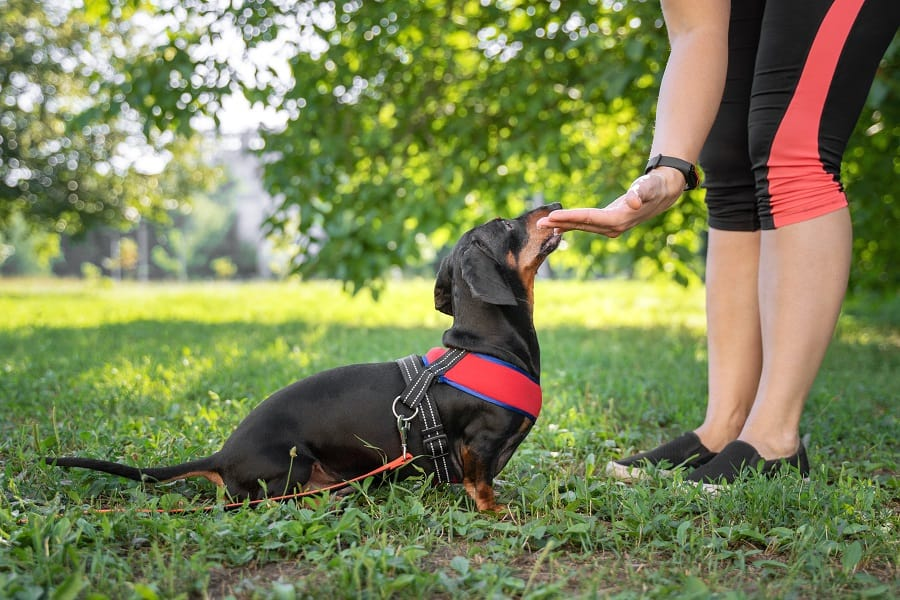 owner training dachshund in the park
