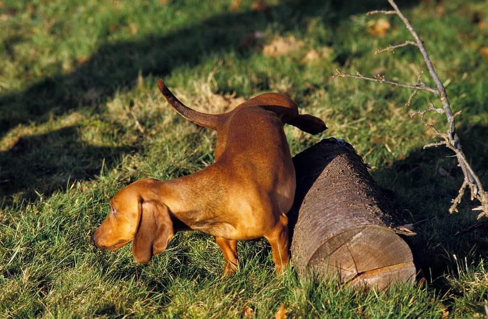 Smooth-Haired Dachshund Urinating Outside