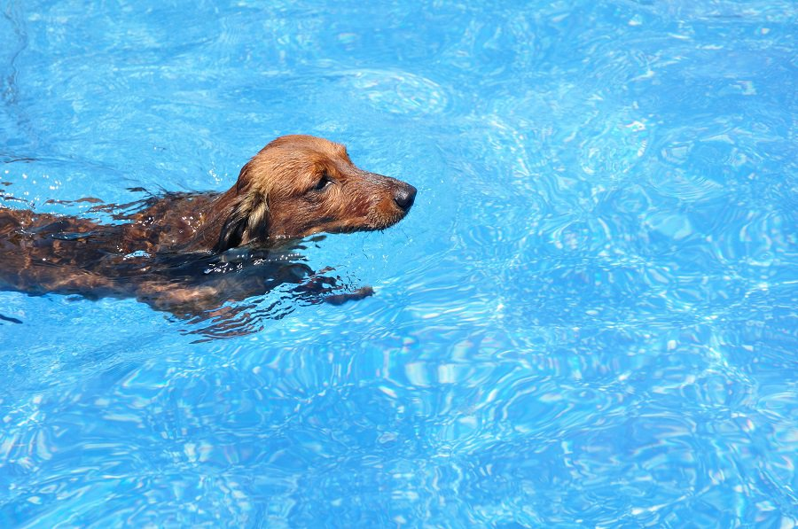 Long-Haired Dachshund Swimming in a Pool
