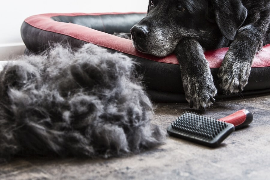 dog with a a pile of shedded hair
