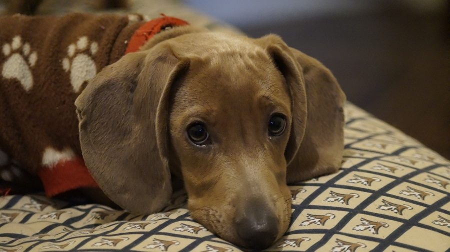 Dachshund resting its head