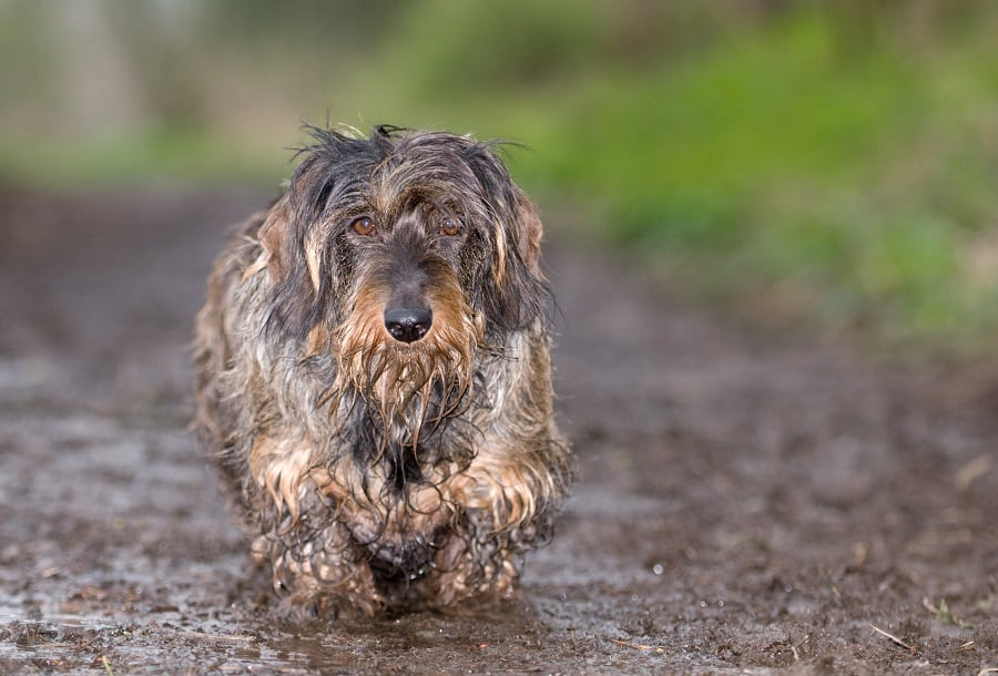 wet and smelly wire haired dachshund on a muddy path