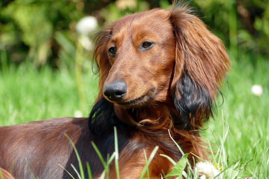 dachshund outside in long grass