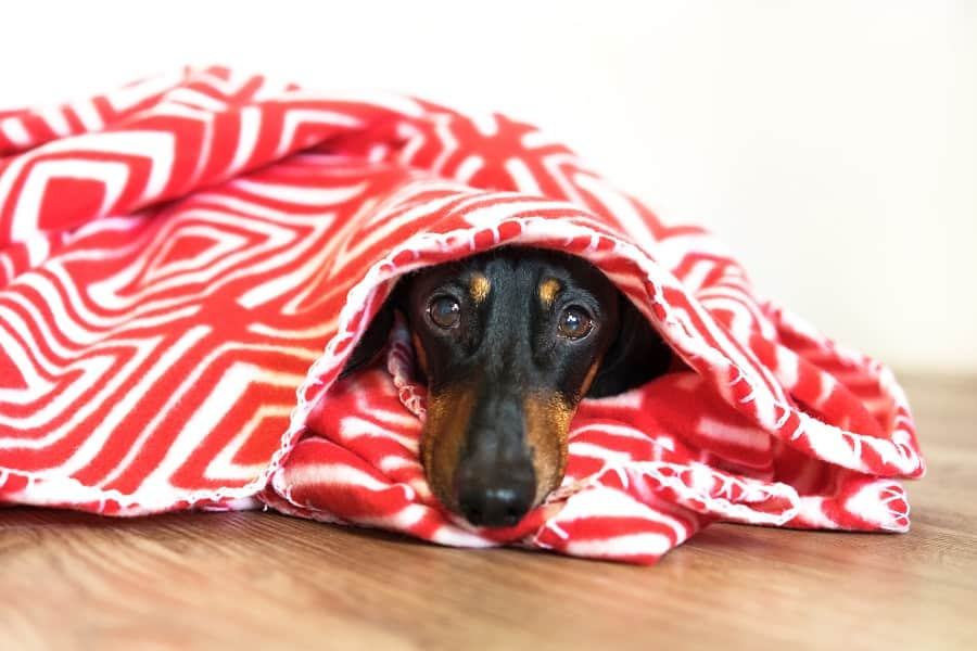 dachshund shivering under a blanket in cold