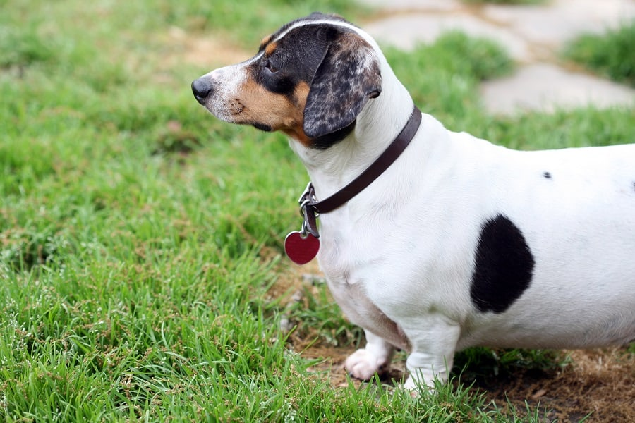 overweight white and black dachshund standing on the grass