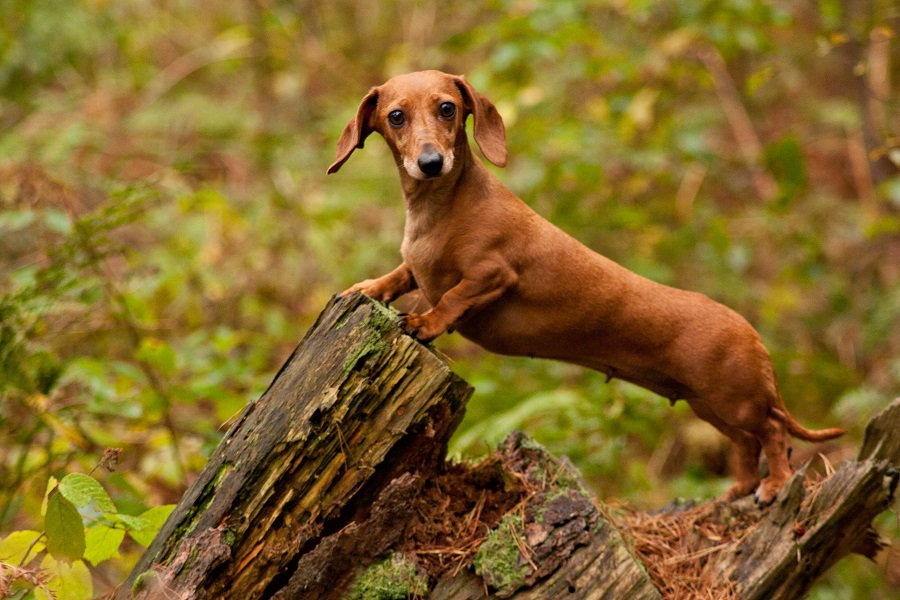 Long Dachshund Dog
