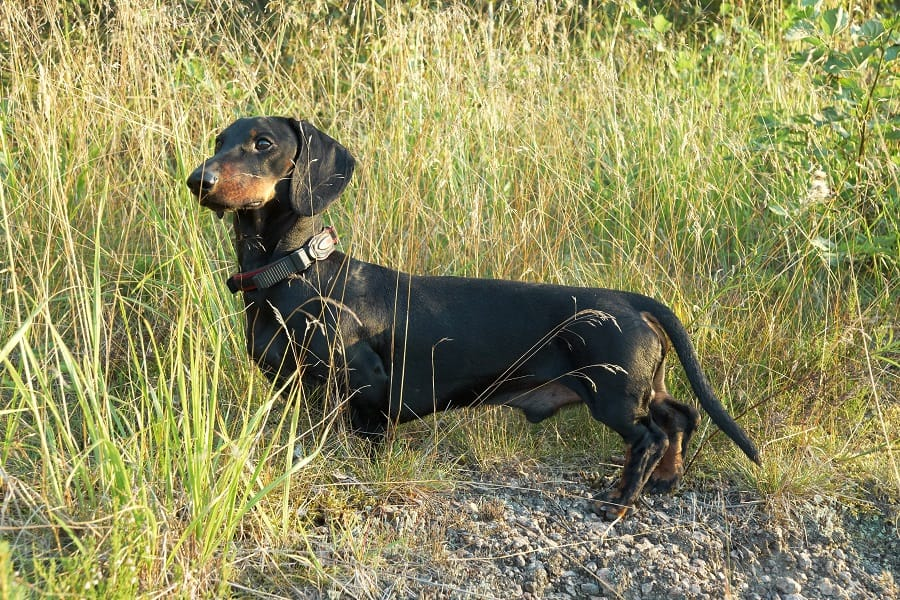Black and tan long dachshund oin tall grass