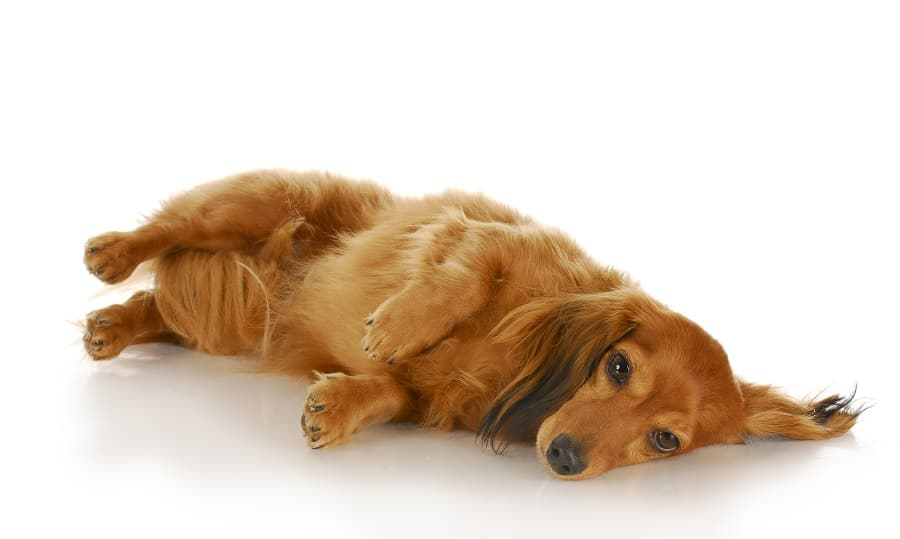 Panosteitis and Other Ailments in Growing Dachshunds