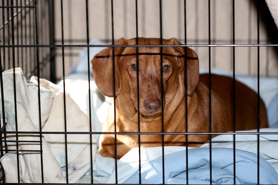 dachshund confined to crate