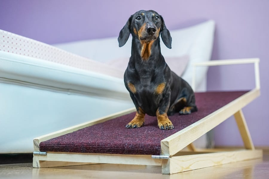 black and tan dachshund sitting on a home ramp.