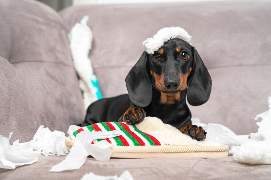dachshund puppy tore up furniture sitting in the middle of chaos