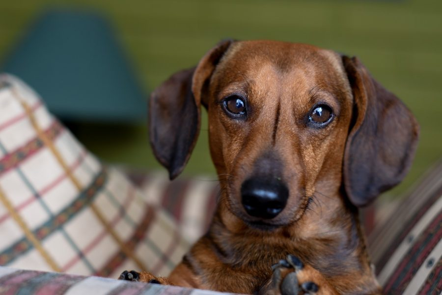 Dachshund staring forward