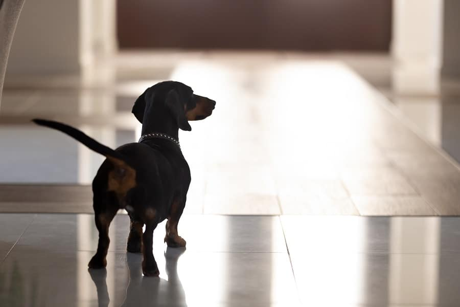 black dachshund with collar standing in hall alone