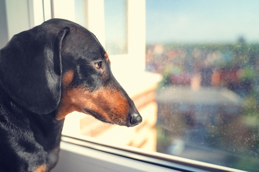 portrait of a black and tan dachshund sadly looking out the window awaiting the return of the owner  to come home