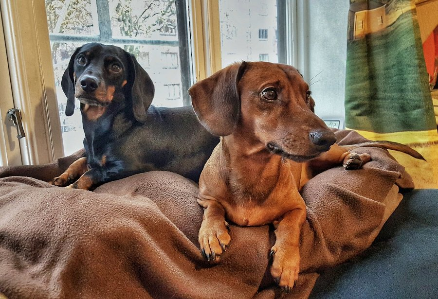 Two lovely dachshunds