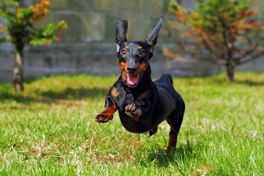 happy Dachshund running and jumping on the grass