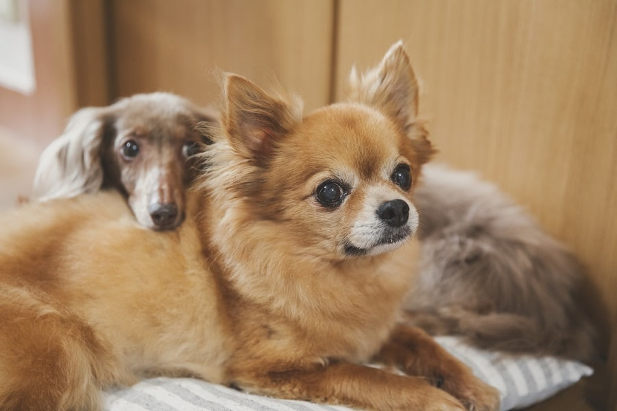 miniature dachshund getting along with chihuahua