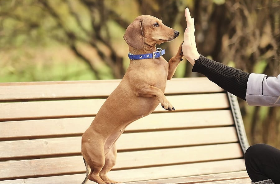 friendly dachshund gives paw to stranger