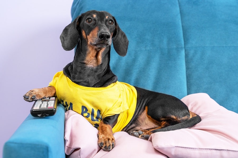 Lazy dachshund dog in yellow t-shirt lying on couch