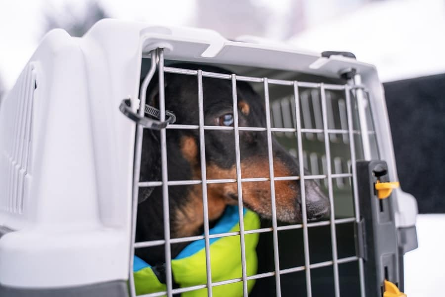 Cute black and tan dachshund wearing pretty vibrant jacket sitting in crate