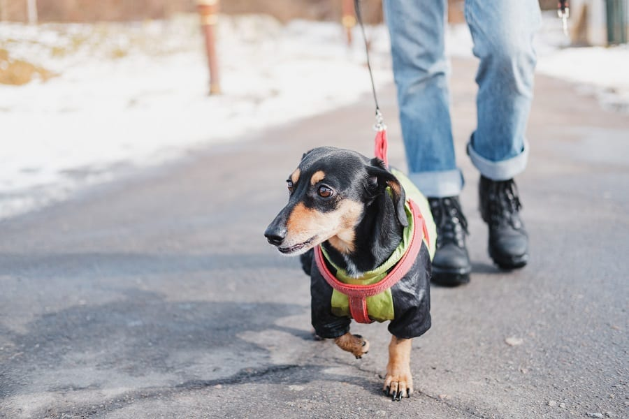 Walking a dachshund dog on the leash