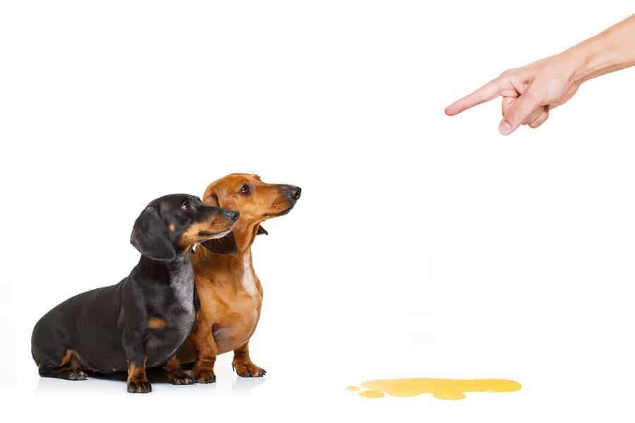 dachshund dogs being punished for urinate or pee