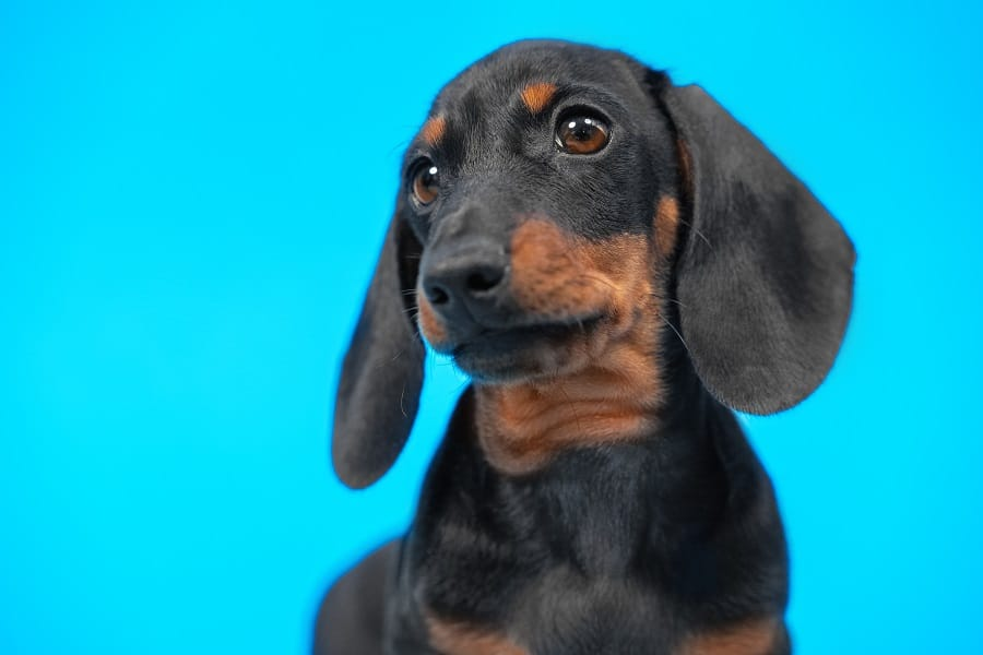 Expressive portrait of cute black and tan dachshund puppy