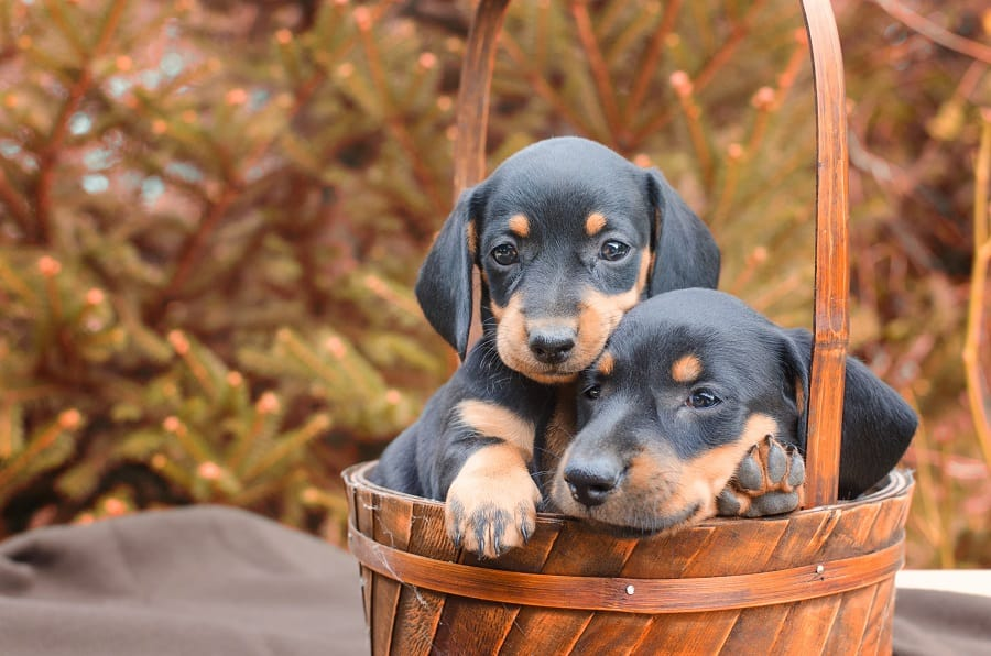 Two lovely dachshund puppies together.