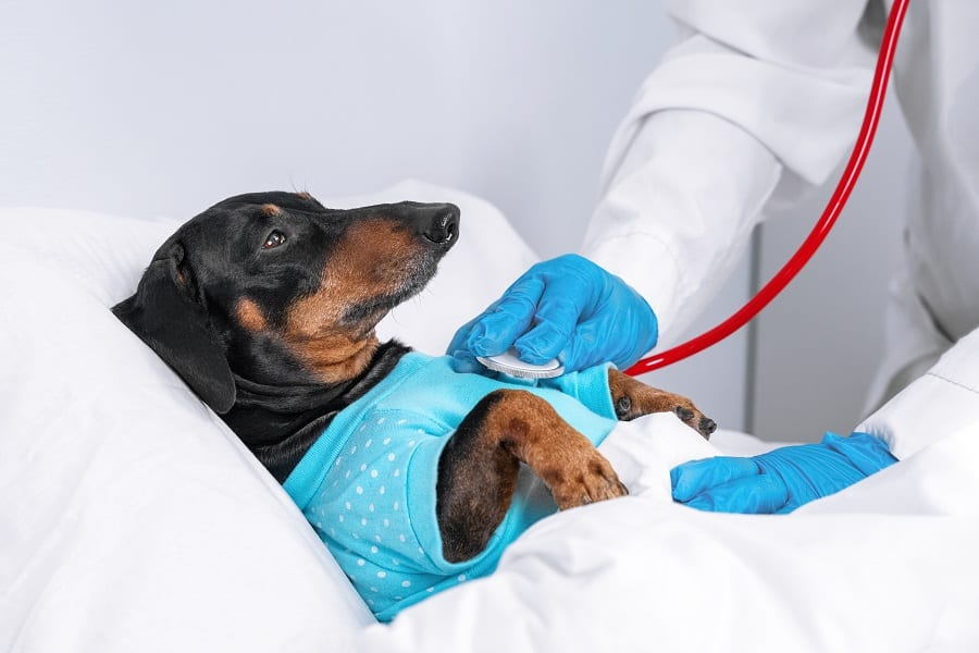 vet examines a dachshund dog with a stethoscope