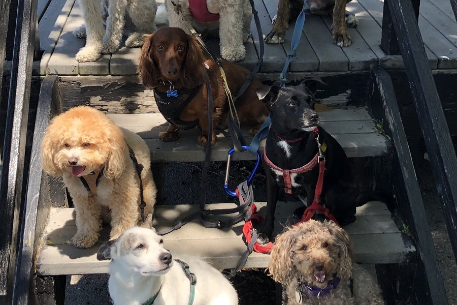 doxiepoo with other pet dogs
