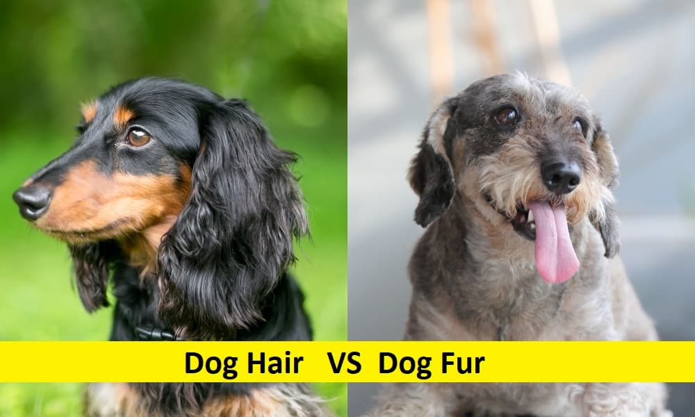 Difference between Dog Hair and Fur