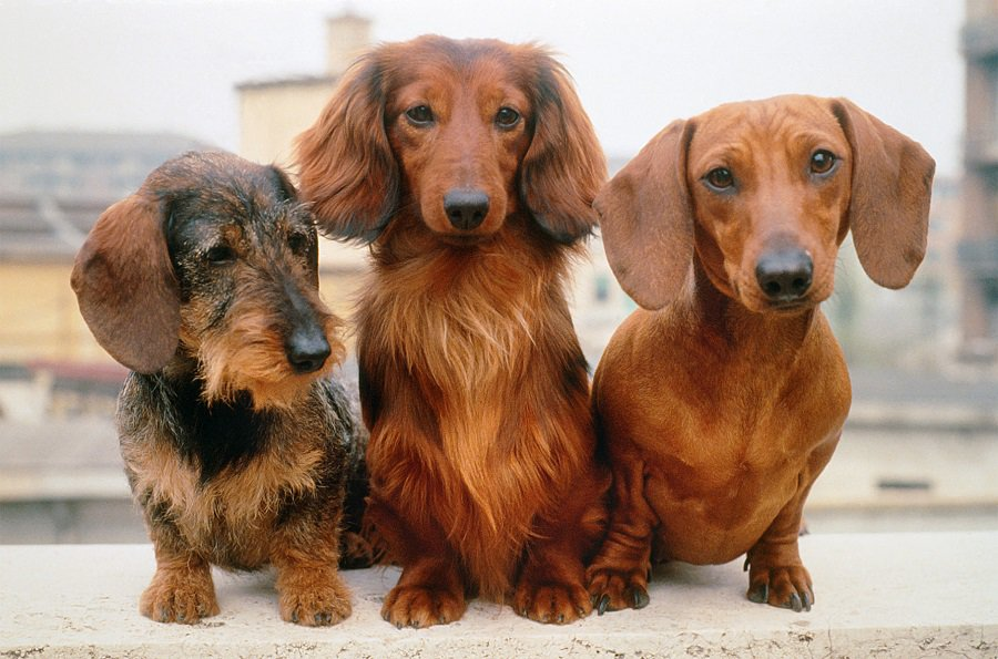 Dachshund with different Hair Coat Type