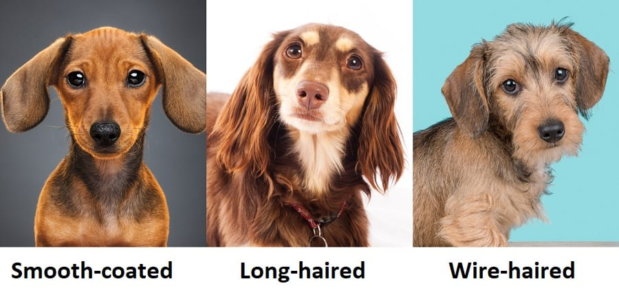 collage os smooth-coated, long-haired and wire-haired dachshunds