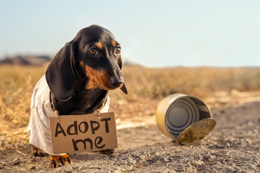 dachshund puppy in old t-shirt with adopt me sign around neck
