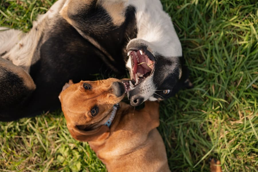 two dachshund biting and playing