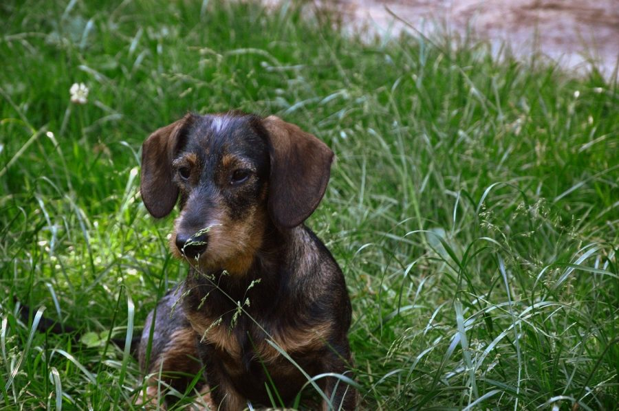 wirehaired dachshund looking forward