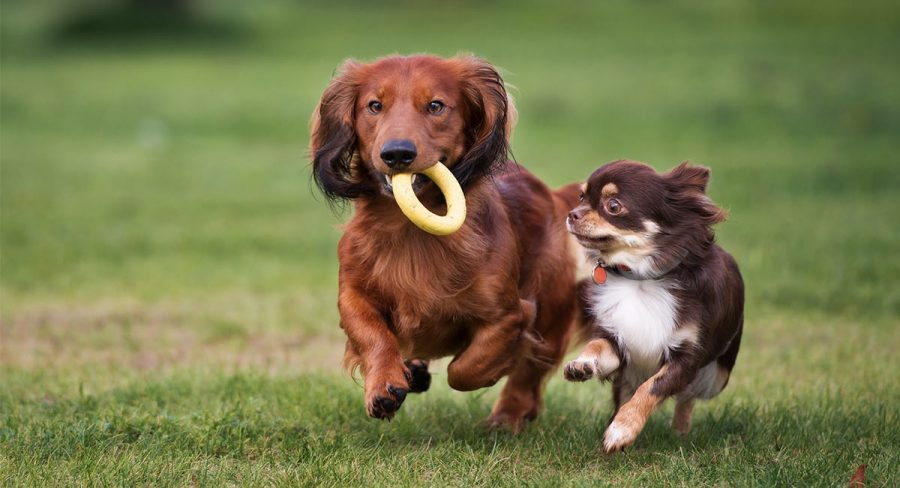Dachshund and Chihuahua running together