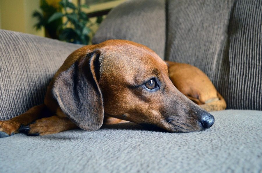 dachshund sitting on couch resting