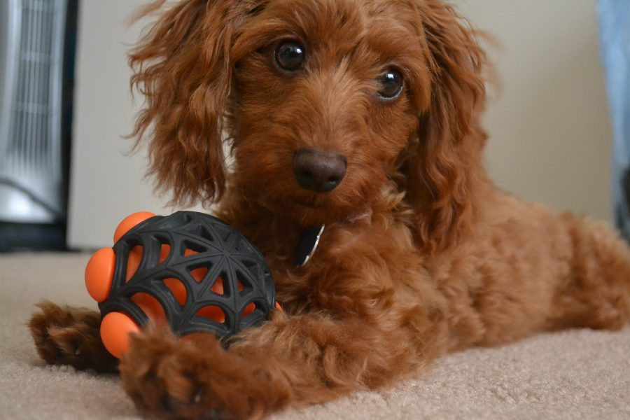 doxiepoo playing with toy looking up
