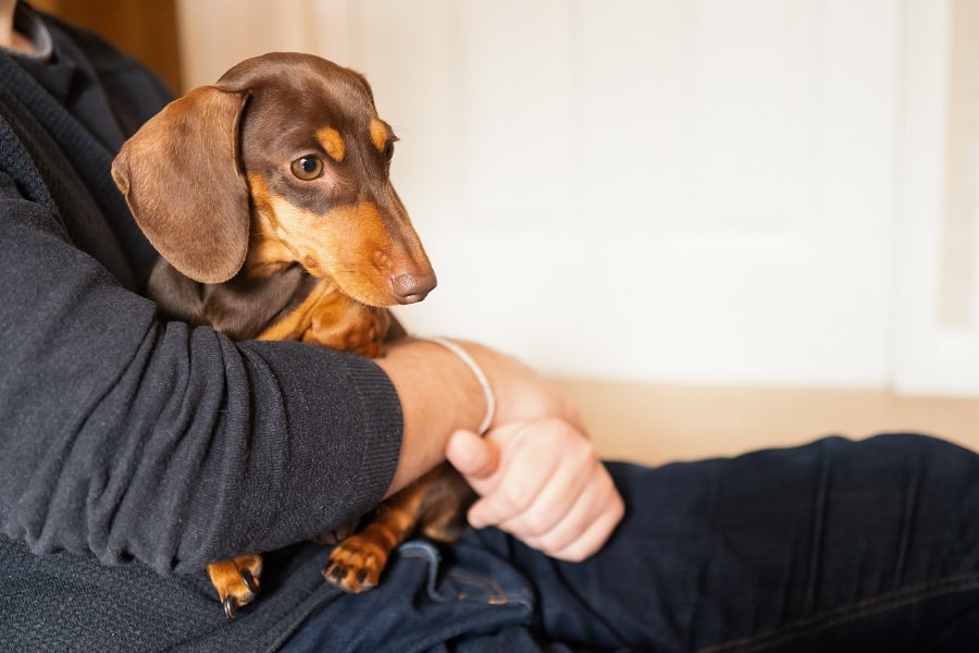 A miniature dachshund sits on the lap of a man who is cuddling her
